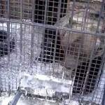 Мишка попрошайка в Абзаково