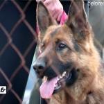 Первые соревнования по служебному собаководству