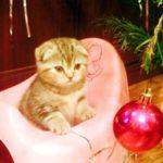 Продам очаровательных вислоухих шотландских котят