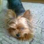 Украли маленькую собаку породы йорк черно-золотистого цвета