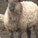 Серийная кража овец