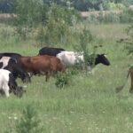 Житель Магнитогорска обвиняется в краже крупнорогатого скота