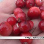 Возбуждено уголовное дела за…кражу ягод