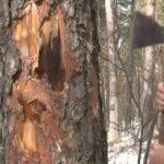 «Черный лесоруб» за предложенную взятку ответит в суде