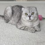 Пропал  кот — британец вислоухий