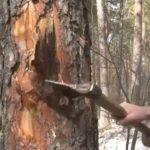 Задержан подозреваемый в незаконной рубке леса