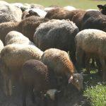 Овцеводство – выгодный бизнес