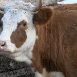 Белорецкие ветеринары проводят диагностические исследования коров на мастит