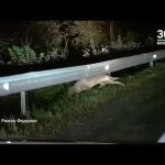 Волк на трассе Уфа Белорецк