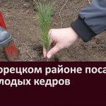 В Белорецком районе посадили 68 молодых кедров
