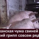 Африканская чума свиней и птичий грипп совсем рядом
